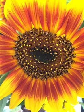 day 67 sunflower up close 5974