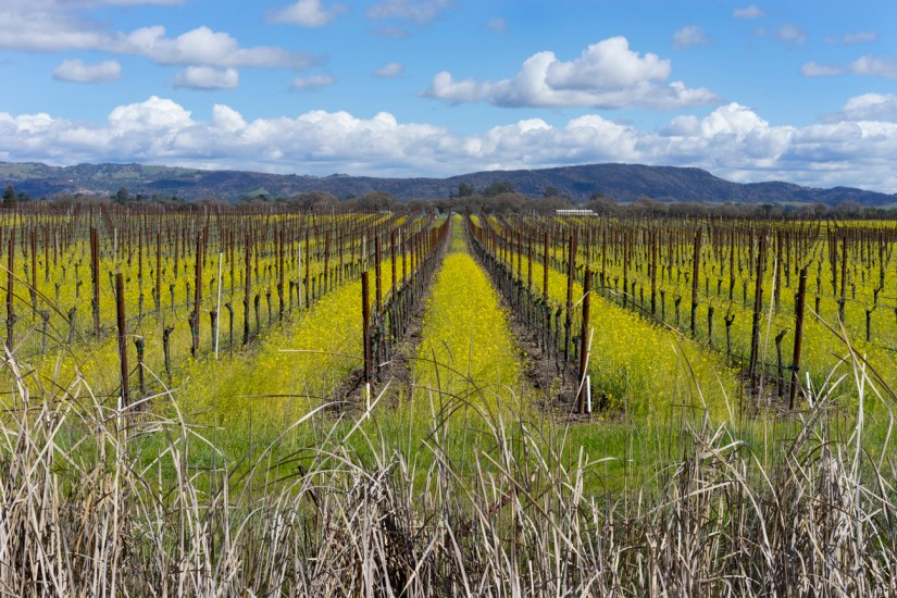 vineyard mustard dsc00028 web