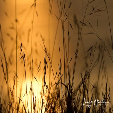 Sunrise Grasses
