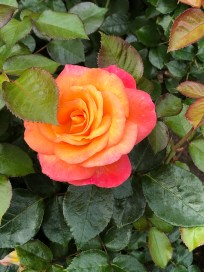 glowing yellow red rose