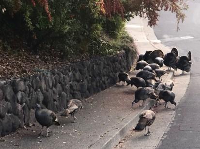 Growing Turkey Flock