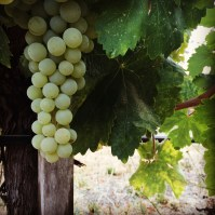day-113-grapes_6407
