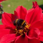 Buff tailed bumblebee on dahlia