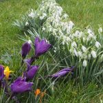Crocuses and snowdrops