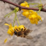 Bee on berberis