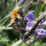 Common carder bumblebee on lavender