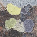 Lichens on sandstone