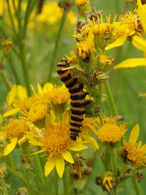 Cinnabar moth caterpillar at St. Tudno's