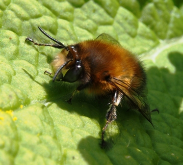 Male hairy-footed flower bee