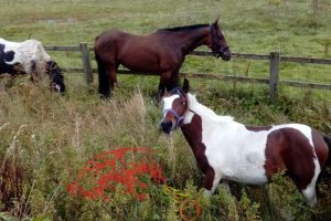 Wanted man arrested after his car collided with horse