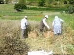 Coyendo la escanda en Llanos (1)
