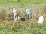 Coyendo la escanda en Llanos (4)