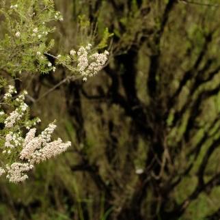 miel llaria bio cruda amarga erica arborea brezo primavera