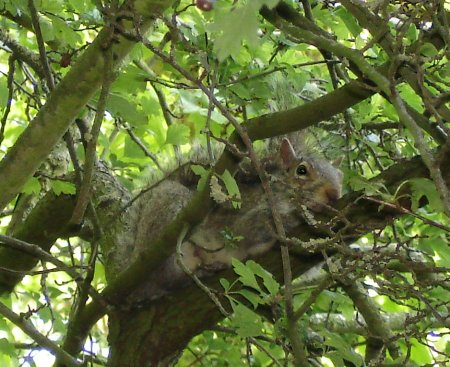 Squirrel up a tree