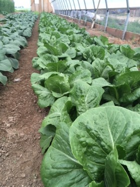 lettuce bed in high tunnel