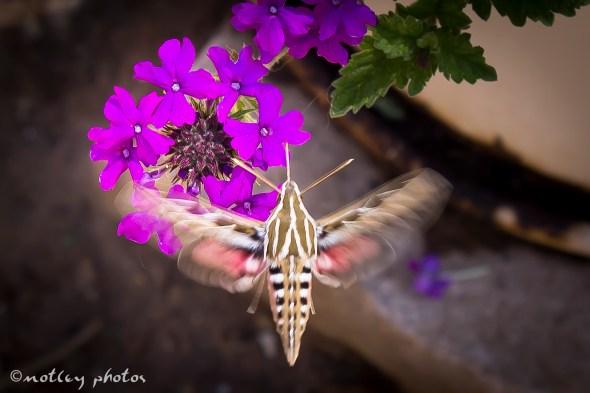 Hummingbird moth 04