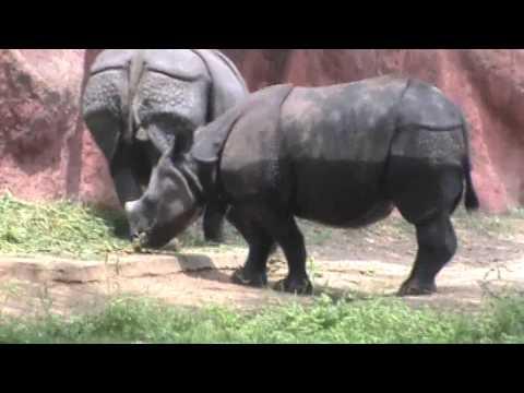 Rhino Wild Animals Videos | Children Zoo  Rhinoceros Animal Videos | Rhino Animal Funny Videos