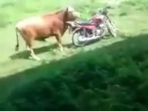 Watch as cow gets jiggy with a motorcycle | Funny farm animals