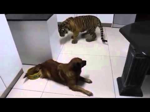 Funny Videos Dog shows tiger who's the boss!