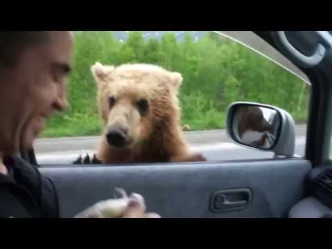 FUNNY BEARS IN RUSSIAN FORESTS ★ Man and Bear