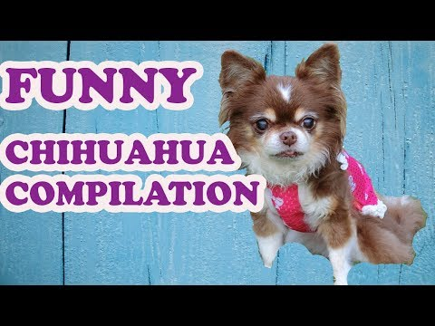 Cute And Funny Dog Chihuahua Puppies Videos Compilation – NEW