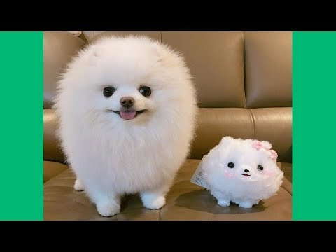 Funny & Cute Pomeranian Puppies Videos – Baby Dogs Videos Compilation 2017