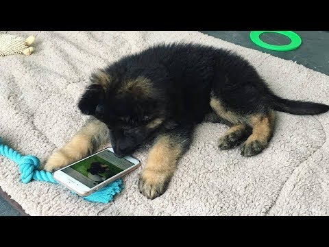 Funniest & Cutest German Shepherd Puppies #3 – Funny Dogs Compilation 2018