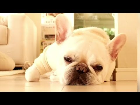 Funniest & Cutest French Bulldog puppies Videos Compilation 2018   Funny DOG vines compilation #372