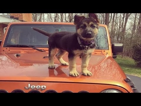 Funniest & Cutest German Shepherd Puppies #10 – Funny Dogs Compilation 2018
