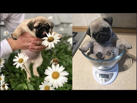 Funniest and Cutest Pug Dog Video Compilation #26