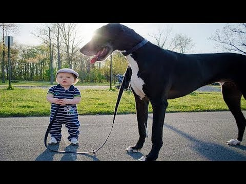 Giant Dog Submits to Baby ★ Funny Baby And Animals Videos Compilation