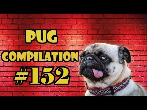 Pug Compilation 152 – Funny Dogs but only Pug Videos | Instapug