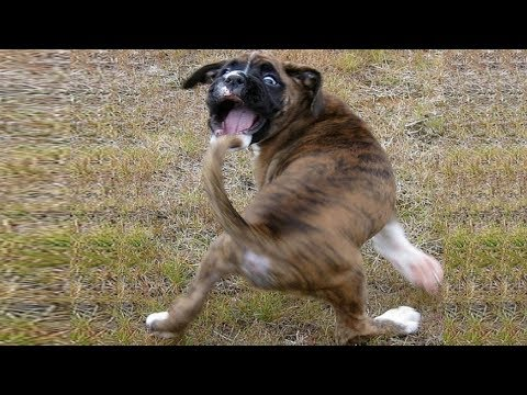 Funny Moments – Dogs Chasing Their Tails | Top Dog Video