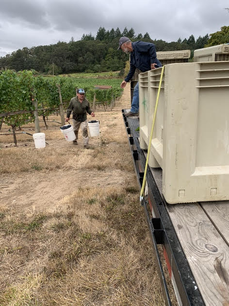 First 2019 harvest at Green Acres Vineyard in southern Oregon.