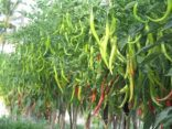 CABE BESAR F1 IMPERIAL 10, JUAL BENIH CABE IMPERIAL 10, CARA MENANAM CABE IMPERIAL 10, TANAMAN CABE IMPERIAL 10, CABE MERAH IMPERIAL 10, LMGA AGRO