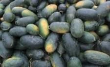 Buah Semangka Inul, budidaya semangka, semangka redin 09, jual murah, lmga agro