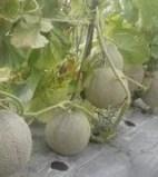Tanaman Melon LA-02 F1,LMGA AGRO, Buah Melon