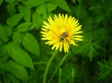Dandelion with visitor:)