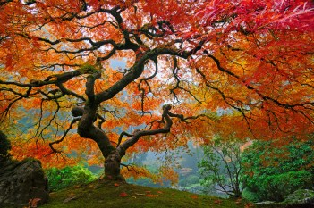 Japanese Maple in Portland, WA
