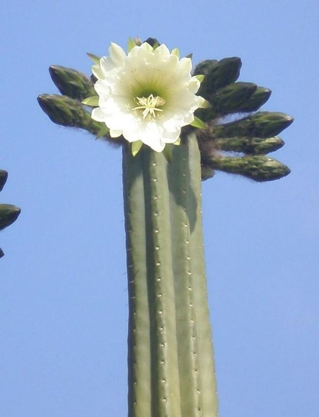 13 Astonishing San Pedro Cactus Inspirations To Completing Your Garden 08