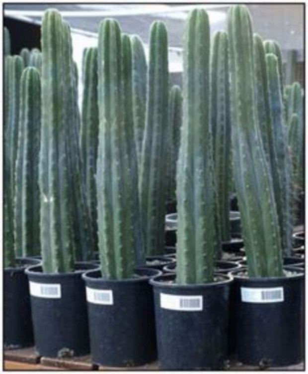13 Astonishing San Pedro Cactus Inspirations To Completing Your Garden 09