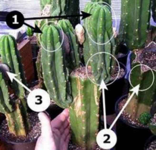 13 Astonishing San Pedro Cactus Inspirations To Completing Your Garden 25
