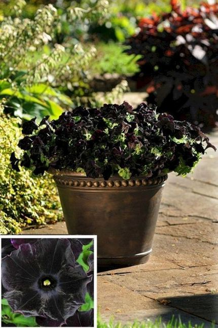 19 Superb Black Plants And Flowers That Add Drama For An Awesome Black Garden 11
