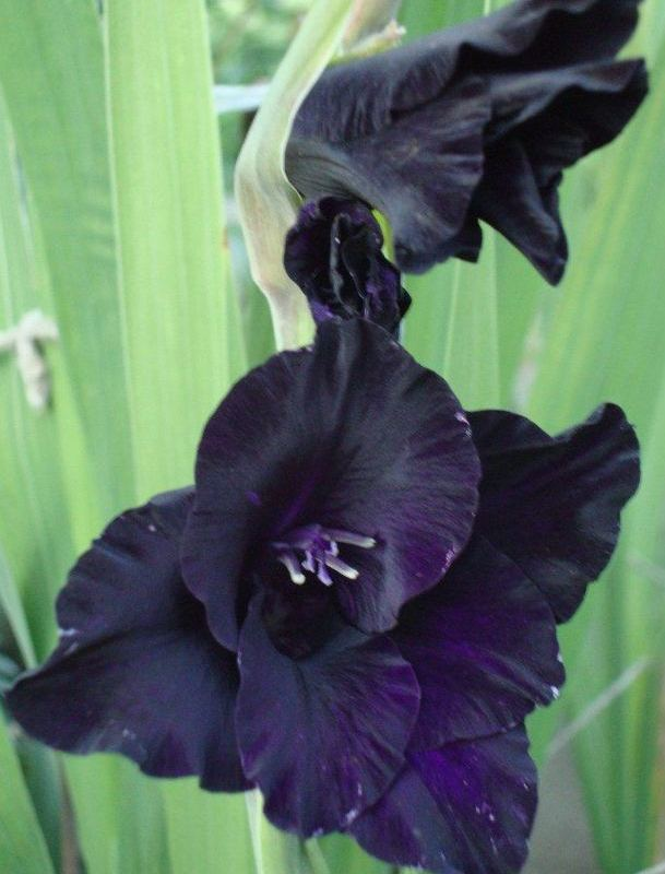 19 Superb Black Plants And Flowers That Add Drama For An Awesome Black Garden 39