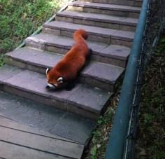 The evil red panda, stalking its prey....