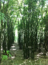 That's a lot of bamboo....