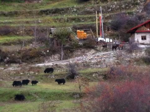 Yaks pastured in Zhou Ma's village.