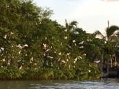 Egrets, winging home.