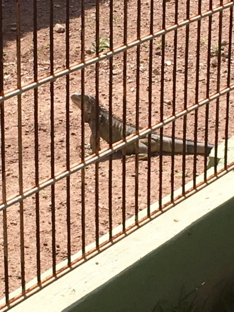 A wild iguana breaks into the axis deer enclosure at Philip's Animal Garden.