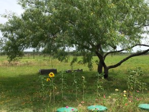 Early spring is when Texas wildflowers throw their most extravagant gala. But these sunflowers, black-eyed susans, and other blooms of my childhood are making a respectable showing.